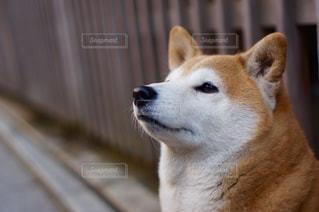 流し目の犬の写真・画像素材[1204116]
