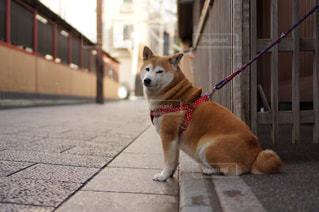 祇園の犬の写真・画像素材[1394548]