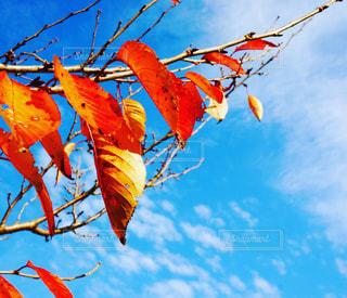 空,秋,紅葉,雲,青空,もみじ,鮮やか,秋空,秋の季節