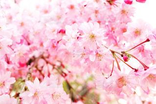 春,桜,ピンク,満開,さくら,ハル