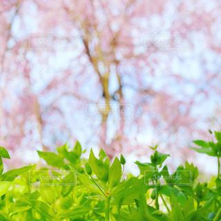 春,桜,ピンク,鮮やか,サクラ,満開,pink,ハル