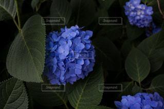 自然,花,あじさい,青,紫陽花,梅雨,草木