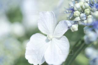 自然,花,雨,白,あじさい,青,光,紫陽花,梅雨,草木