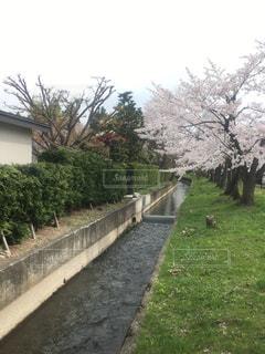 用水路の桜並木の写真・画像素材[1195119]