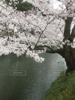 仲良し水鳥のお花見の写真・画像素材[1195122]