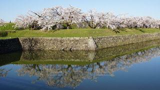 五稜郭の桜の写真・画像素材[1195047]