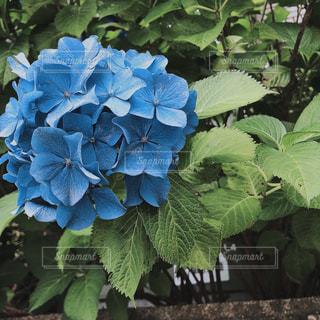 青,フラワー,紫陽花,アジサイ