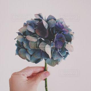 紫陽花の写真・画像素材[1198124]