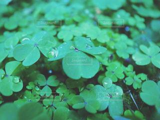 雨,アート,三つ葉,クローバー,iphone,梅雨,雨粒,雨の日,clover,vsco