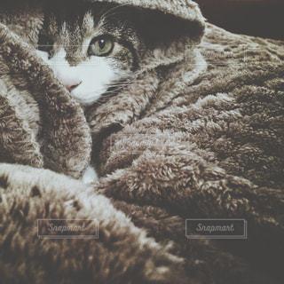 雪の上に横たわる猫の写真・画像素材[1254941]