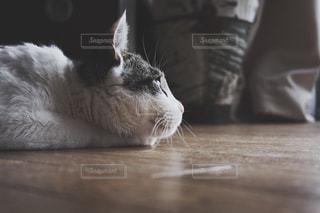 横になって、カメラを見ている猫の写真・画像素材[1254951]