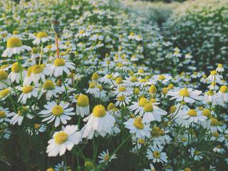 近くに黄色い花のアップの写真・画像素材[1368243]