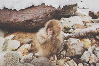岩の上に座っている猿の写真・画像素材[1439725]