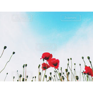 自然,風景,空,花,屋外,赤,景色,可愛い,ポピー,たくさん,草木,ポップ,日中,ファンシー,poppy,雛罌粟