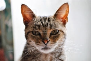 カメラを見ている猫の写真・画像素材[1208228]