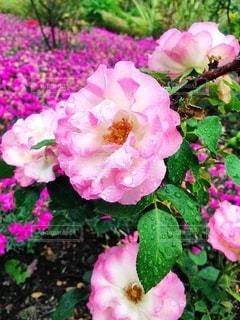 近くの花のアップの写真・画像素材[1216526]