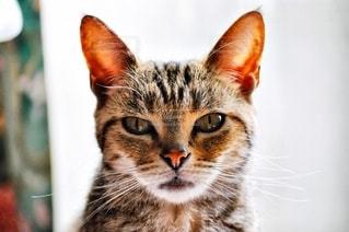 カメラを見ている猫の写真・画像素材[1255111]