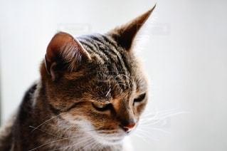 カメラを見ている猫の写真・画像素材[1255438]