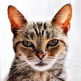 カメラを見ている猫の写真・画像素材[1261229]