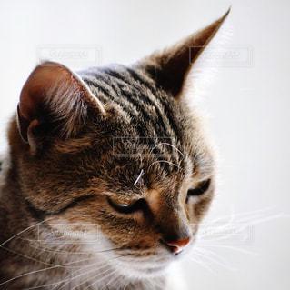 カメラを見ている猫の写真・画像素材[1265849]