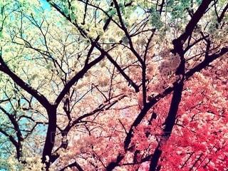 森の大きな木の写真・画像素材[1388601]