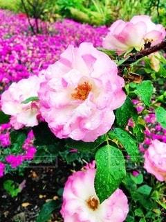 近くの花のアップの写真・画像素材[1388605]