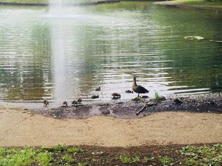 鳥,水,池,赤ちゃん,鴨,カモ,ママ,お母さん,子育て,雛,水鳥,ヒナ