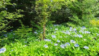 紫陽花,箱根,梅雨,みどり,アジサイ