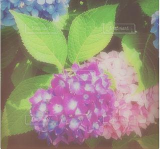 ピンク,緑,紫,紫陽花,みどり,アジサイ,むらさき