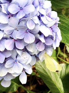 紫陽花にとまる蝶の写真・画像素材[1247961]