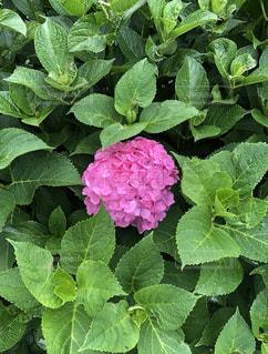 花,雨,ピンク,緑,鮮やか,紫陽花,雨上がり,梅雨,無加工,雨粒,草木,アジサイ,日の丸構図,日の丸弁当
