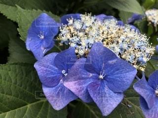 花,雨,緑,紫,鮮やか,紫陽花,雨上がり,梅雨,無加工,四角,雨粒,草木,バイオレット
