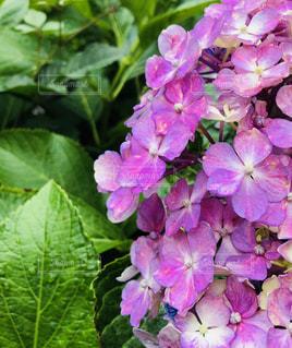 花,雨,ピンク,緑,紫,水滴,鮮やか,紫陽花,雨上がり,梅雨,雨粒,草木,アジサイ,バイオレット,2分割構図
