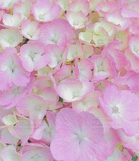 花,ピンク,黄色,花びら,紫陽花,雨上がり,梅雨,草木,アジサイ