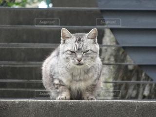 目つきの鋭い猫の写真・画像素材[1254542]