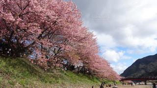 河津桜の写真・画像素材[1255054]