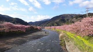 河津桜の写真・画像素材[1255084]