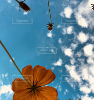 自然,空,花,夏,秋,屋外,コスモス,雲,青空,オレンジ,秋空,草木,日中,羊雲