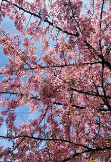 空,花,春,桜,屋外,樹木,草木,桜の花,さくら,ブロッサム