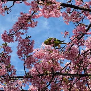 空,花,春,桜,鳥,屋外,満開,インコ,桜の花,さくら,ブロッサム