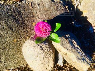 岩の上のアカツメクサの写真・画像素材[1202004]