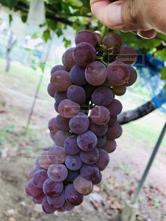 紫,フルーツ,果物,くだもの,フレッシュ,ぶどう,グレープ,狩り,ブドウ園