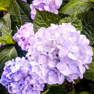 花,雨,緑,あじさい,紫,パープル,紫陽花,梅雨,雨粒,雨の日,アジサイ
