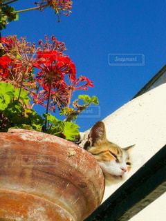 植木鉢の猫の写真・画像素材[1254750]