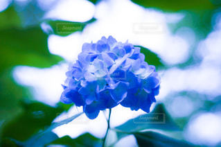 花,雨,屋外,緑,あじさい,青,葉っぱ,葉,景色,紫陽花,Hydrangea,草木,アジサイ,日の丸構図