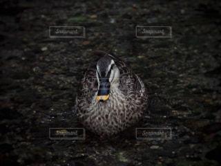 浅瀬の鴨の写真・画像素材[1200375]