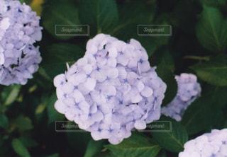 花,屋外,紫陽花,フィルム,梅雨,天気,草木,アジサイ