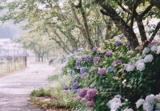 花,屋外,紫陽花,道,フィルム,梅雨,天気,草木,アジサイ