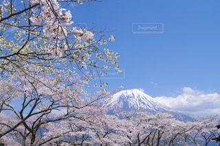 富士山と桜の写真・画像素材[1200386]