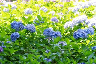 風景,花,景色,紫陽花,梅雨,鎌倉,長谷寺